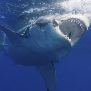 Dealing with Wildlife: Sharks