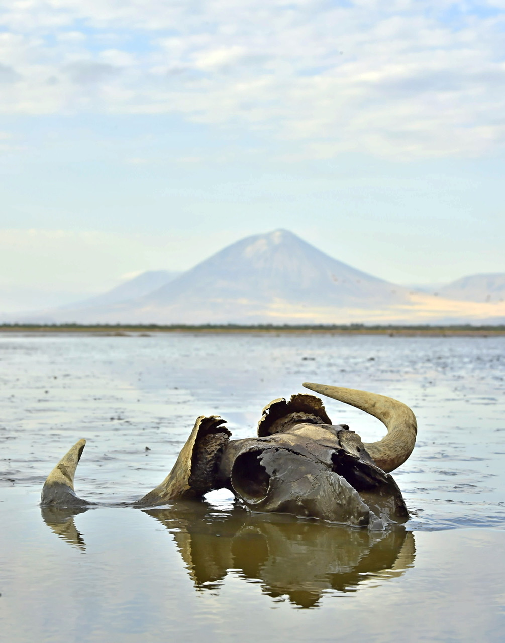 Calcified skull of ungulate in water