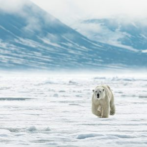 Updated: Another Polar Bear Attack in Svalbard