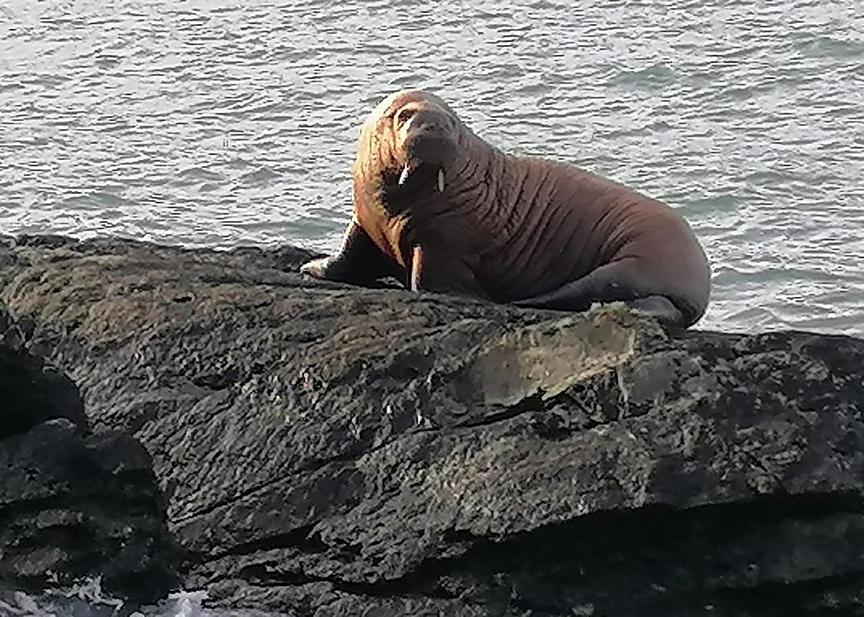 Walrus on rock