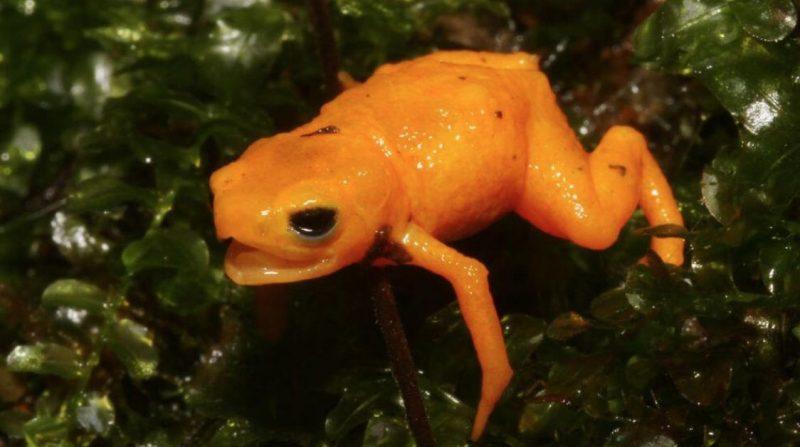 Tiny orange frog