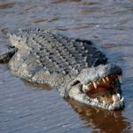 Dealing with Wildlife, Part 2: Crocodiles