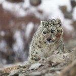 Pandemic Helps Ladakh's Snow Leopards